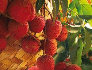 Letchis, Reunion Island, Ile de La Réunion C'est enfin la saison! Un fruit tout juste sortit du paradis!