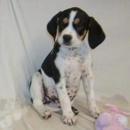 The gallery for --> Bluetick Coonhound Beagle Mix