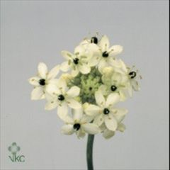 Ornithogalum Arabicum are also known as Star of Bethlehem & Chincherinchee - the small flowers take a good while to open, so please bear this in mind when purchasing. 70cm tall & wholesaled in wraps of 20 stems.