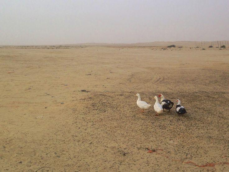 kaczki na pustyni