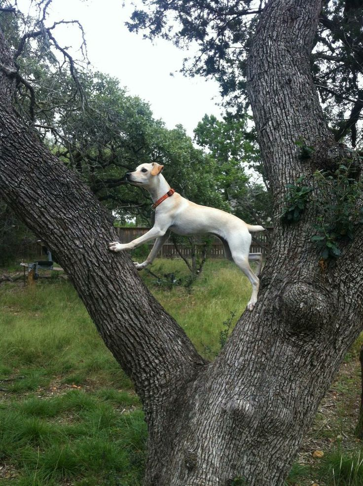 Treeing or Mountain Feist: I wonder if this is how big Rosco will get?