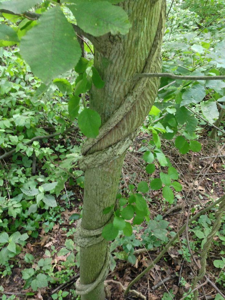 Oriental Bittersweet vines strangling a tree