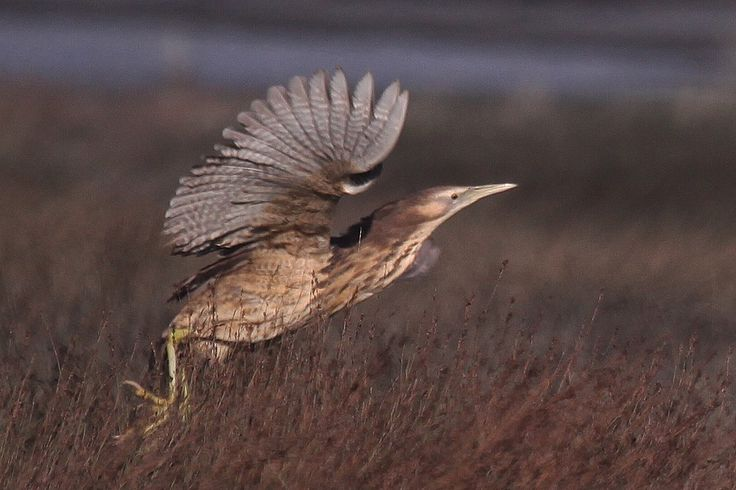 """A bittern is to the wetland, like a kākāpō is to the forest."""