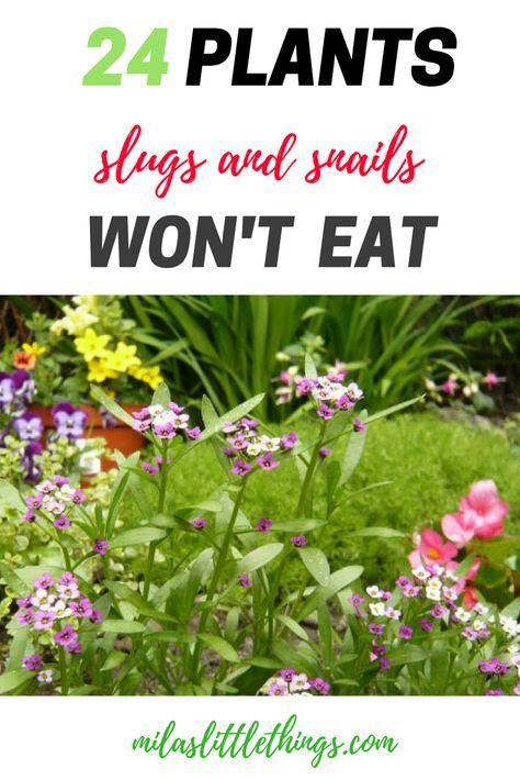 List of 24 plants slugs and snails won't eat. Plants that repel slugs and snails. How to get rid of the slugs in the garden - ideas.