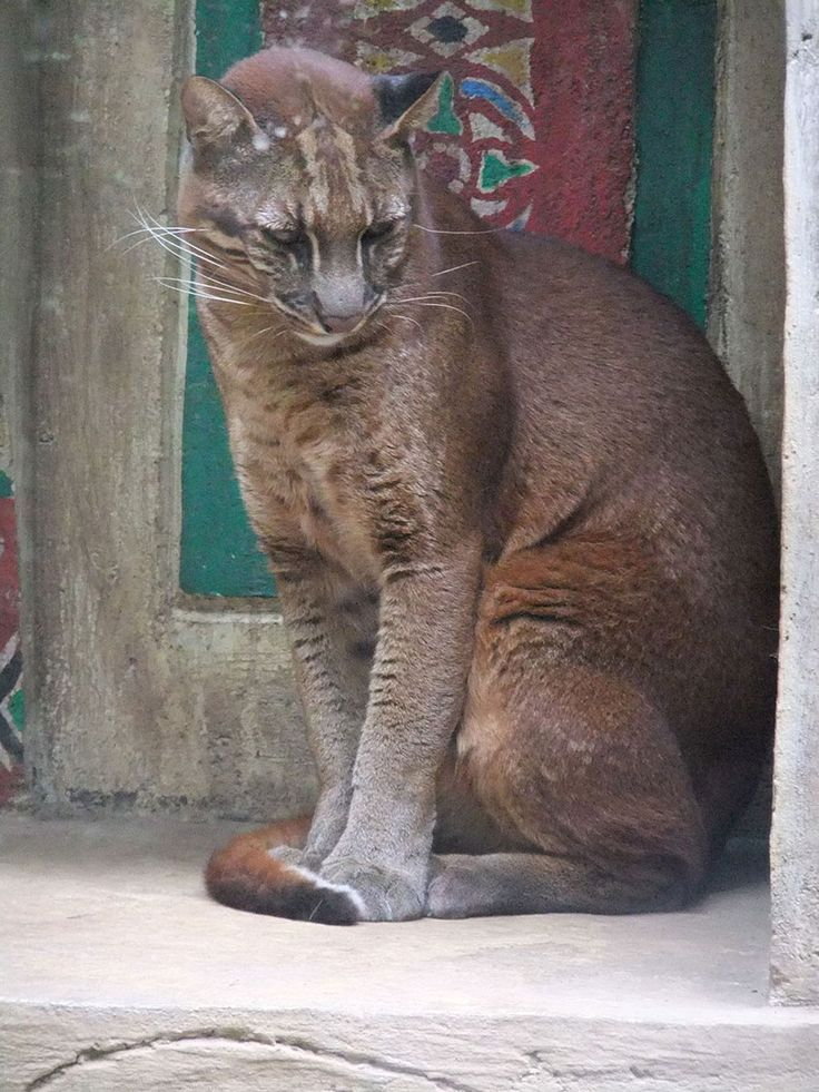 Chat de Temminck (Pardofelis temminckii) Aussi appelé chat doré d'Asie, c'est un félin tout à fait particulier. Bien plus gros qu'un chat (entre 9 et 16 kg), soit près de trois fois le poids d'un chat domestique, il vient d'Asie du Sud-Est. Il est reconnaissable par les taches sur sa tête et aussi par le fait que tout le reste du corps ait la même couleur. Fait unique chez les félins…