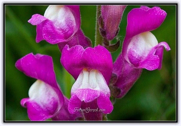 Aslanağzı Çiçeği (Antirrhinum Majus) - Sayfa 2 - Forum Gerçek