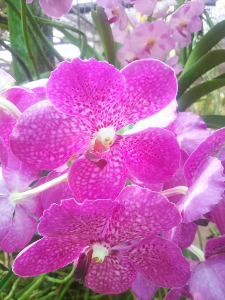 Giant Orchid Flower Orchids Orchid Flower Rare Orchids