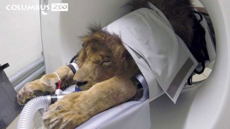New CAT scanner at Columbus Zoo sees first patient: An African lion | NBC4i.com  ||  Click to share on Pinterest (Opens in new window) Veterinary staff at the Columbus Zoo use CAT imaging on Tomo, a 14-year-old African lion (photo courtesy: Columbus Zoo and Aquarium)  POWELL, OH (WCMH) — The Columbus Zoo and Aquarium continues to be on the cutting edge of animal care as they put their new CAT scanner…