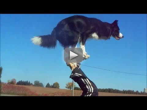 "Nana the Border Collie Performs Amazing Dog Tricks - Meet the world's smartest dog: my best friend, Nana!  From footstalls, to walking front paw handstands, to running backwards, Nana does it all.  All of Nana's training is done exclusively with positive reinforcement and clicker training.  Nana chooses to do all the behaviours in this video, and when she performs a trick, she is rewarded with lots of praise, toys, and treats. She loves what she does, and to her, ""training"" is all just a big"