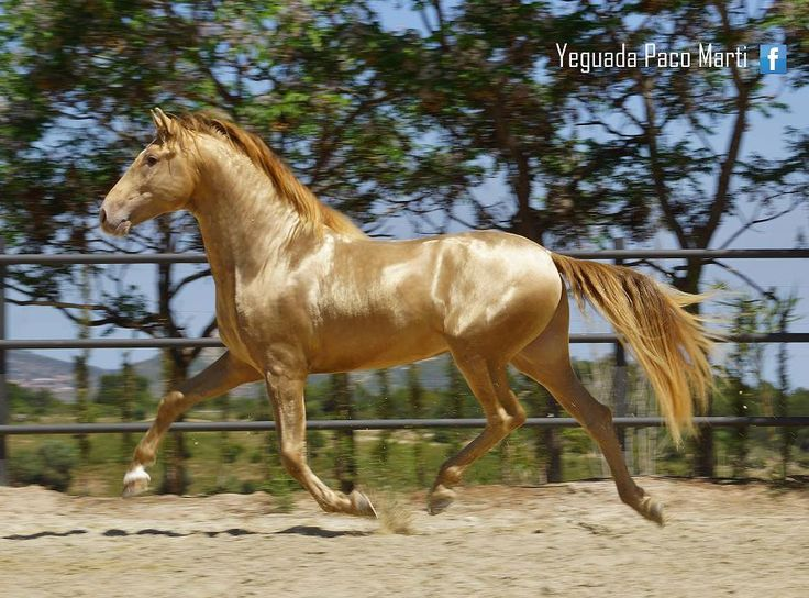 SOL PM II - Bay double Pearl PRE stallion from the Paco Marti stud in Spain.