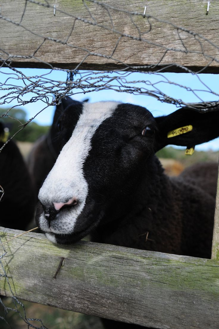 Meet our wooly neighbours.