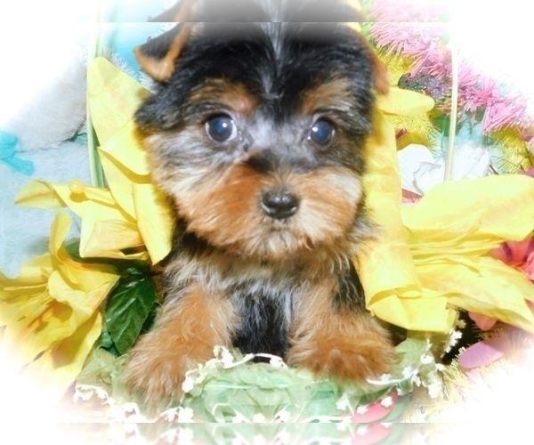 Yorkshire Terrier Puppy For Sale In Hammond Indiana Usa Adn 198039 On Puppyfinder Com Gender In 2020 Puppies For Sale Yorkshire Terrier Puppies Yorkshire Terrier