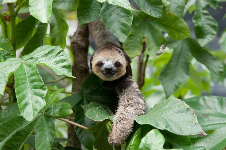 Sloth Rescue In The Guiana Shield