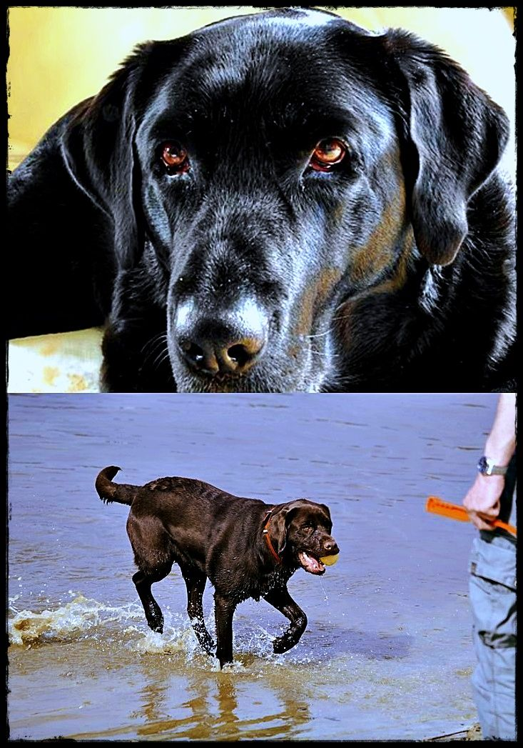 The Difference Between Yellow Chocolate And Black Labradors With Images Golden Labrador Puppies Labrador Puppy Labrador