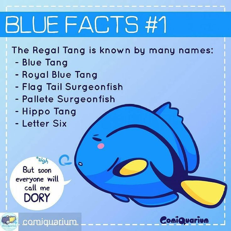 "Repost from @comiquarium -  Finding Dory is coming soon! So what better way to celebrate than to make the new series raising ""dory"" awareness! The name ""hippo"" comes from their scientific name ""hepatus"" ""palette"" because their marking resembles an artist's palette for painting and ""lettersix"" is what we Indonesian call them in the market. And finally calling them 'blue tang' is confusing because another fish acanthurus coereulus is called the same name so best add ""regal"" to avoid…"