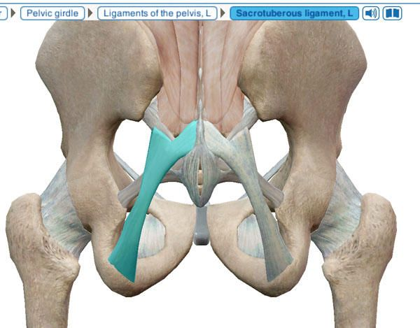 Skeletal Sacrotuberous Ligament | Pelvic Fractures | Pinterest