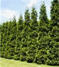 Thuja Green Giant - fast growing privacy evergreen tree