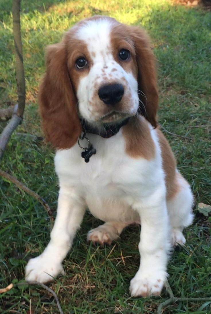 Adult welsh springer spaniel for sale