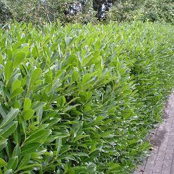 Palme, Cerise ou Caucase Le LaurierPalme est en grand classique des plantes de haies. Encore appelé Laurier Cerise ou Laurier du Caucase, il est utilisé dans la plupart de nos régions. Son beau feuillage vert brillant est large, persistant, idéal donc pour constituer de belles haies touffues. Au printemps, le laurier palme se couvre de nombreuses petites grappes de fleurs blanches.  Le laurierPalme peut atteindre plus de 3m de haut mais se taille très bien :on peutdonc le maintenir ...