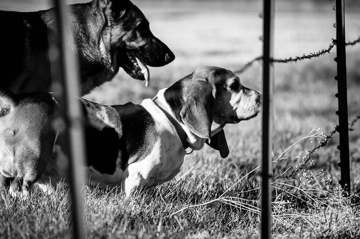 Gus the #bassethound and his brother Emmet the #germanshepherd hanging out together and romping in the field. Two of my #doggiebff's my buddies my pals my friends... #brownfootbear #brownfootbearphotography #photography #gunnarwilliamsphotography #gunnwilliams #dog #dogs #dogsofinstagram #dogoftheday #woof #mustlovedogs #withdog #love #boyandhisdog #KansasCity #kc #Kansas #ks #kansasphotos #summer #blackandwhite #dogphotography #petphotography #art #dogart #love #basset #hound