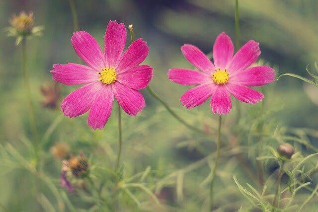 #cosmos #flower #wroclaw #poland http://fochzprzytupem.wordpress.com