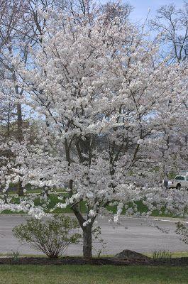 Growing The Home Garden: Yoshino Cherry (Prunus x yedoensis)