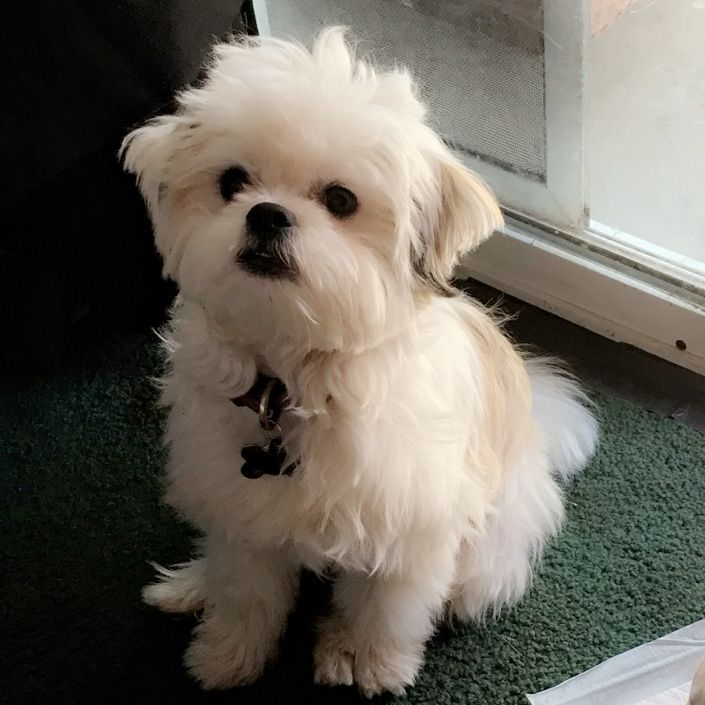 Known As A Chin Ja Chon This Is A Bichon Frise And Japanese Chin