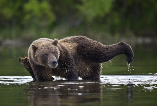 : Bears Cubs, Mornings Yoga, Gymnastics Sergey, Water Aerobic, Brown Bears, Photo, Left Foot, Sergey Ivanovic,  Bruins