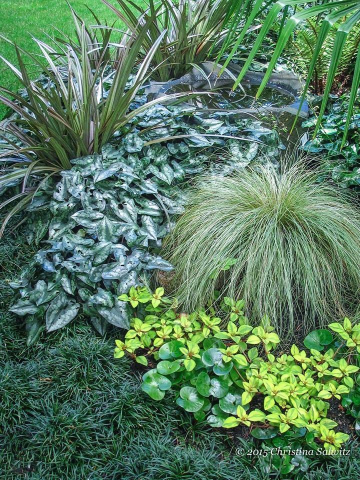 Shot this at a lovely garden called Powell's Wood- Astelia, Variegated Asarum, Carex 'Frosty Curls', 'Golden Globes' Lysimachia, Asarum canadense, Mondo grass. fine-foliage.com