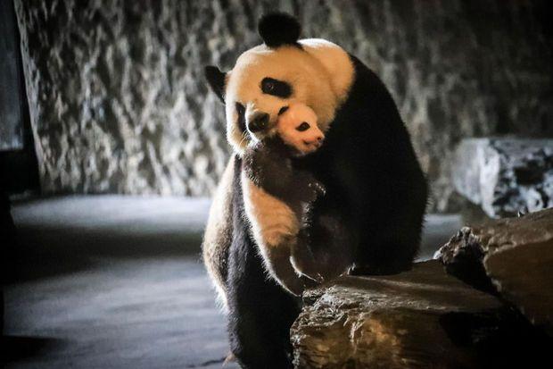 Première sortie publique pour le bébé panda de Pairi Daiza