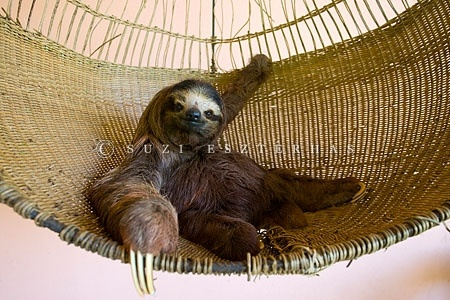 Sloth - just chillin out by Suzi Eszterhas