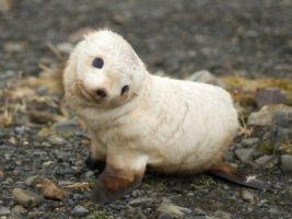 Papel pintado de la cría de foca Sellos Animales