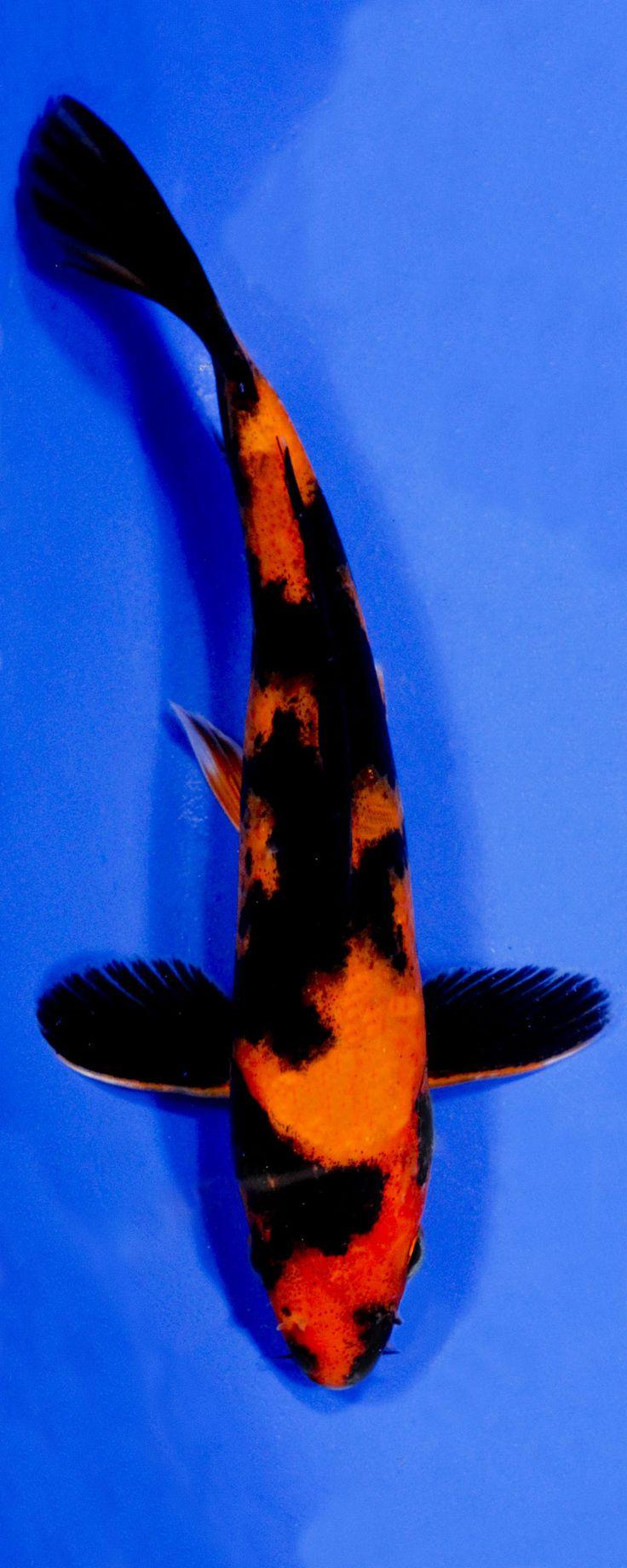 Les 2945 meilleures images du tableau colorful koi sur for Poisson rouge koi