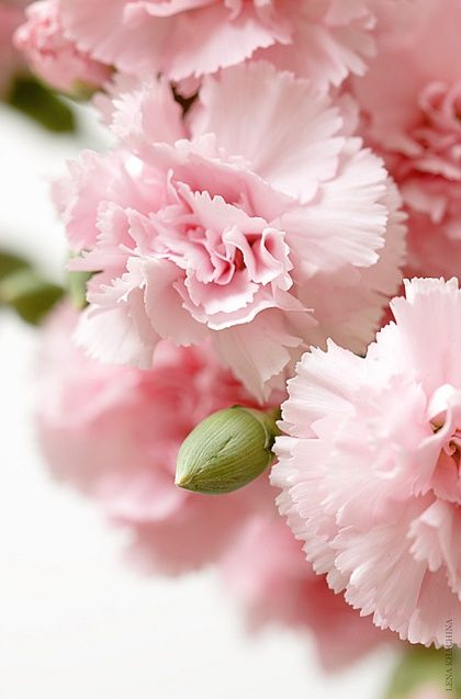 Pink Carnations - Carnations were my 1st flower I was in love with. I remember when they had a sweet scent.