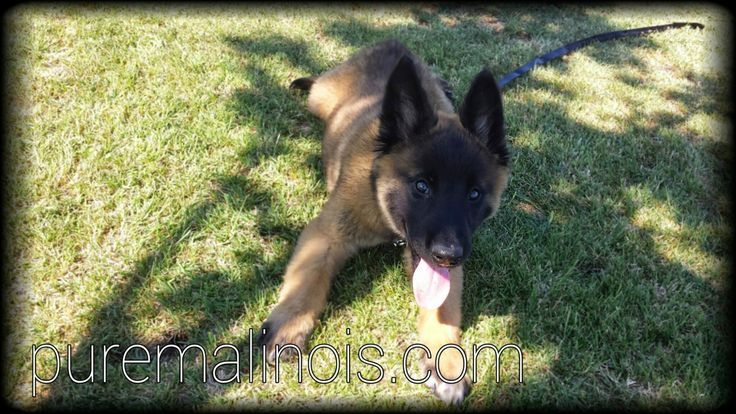 Belgian Malinois Puppies For Sale in California