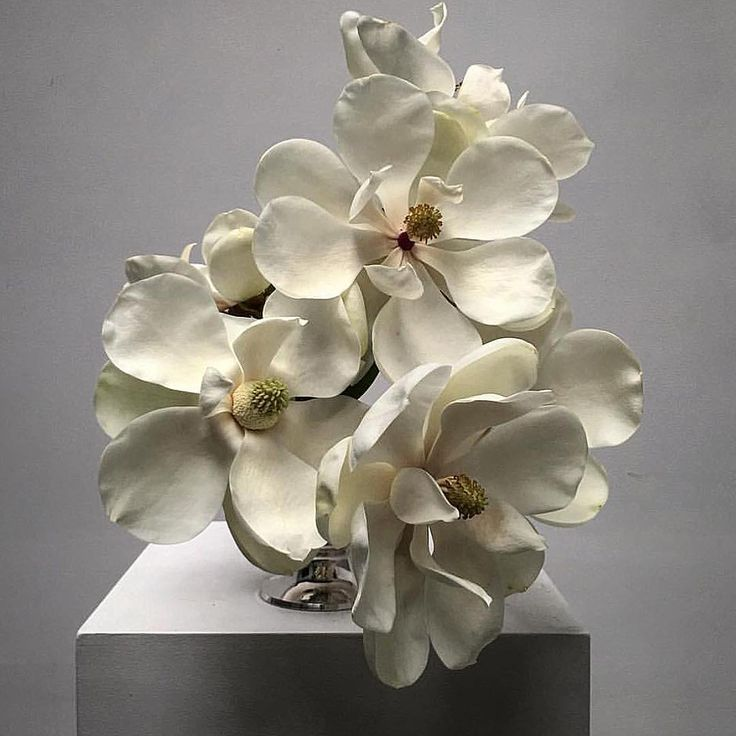 magnolias. dr lisa cooper.