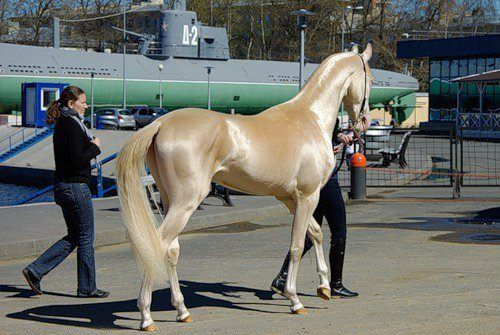 The Akhal-Teke is a horse breed from Turkmenistan. Only about 3,500 are left worldwide. Known for their speed and famous for the natural metallic shimmer of their coats.  Stunning... and no, I don't know why there is a submarine in the pic...