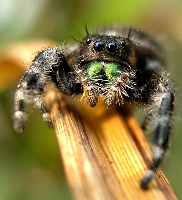 449 best images about spiders on Pinterest | Rose hair ... Jumping Spider Web
