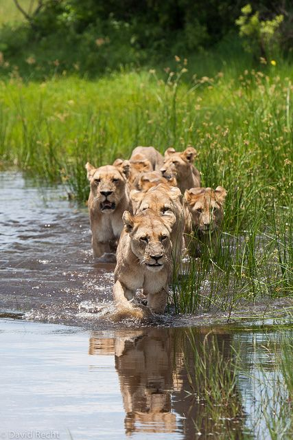 Africa   'Who's looking out for crocs?'.  Duba Plains, Botswana   © David Recht