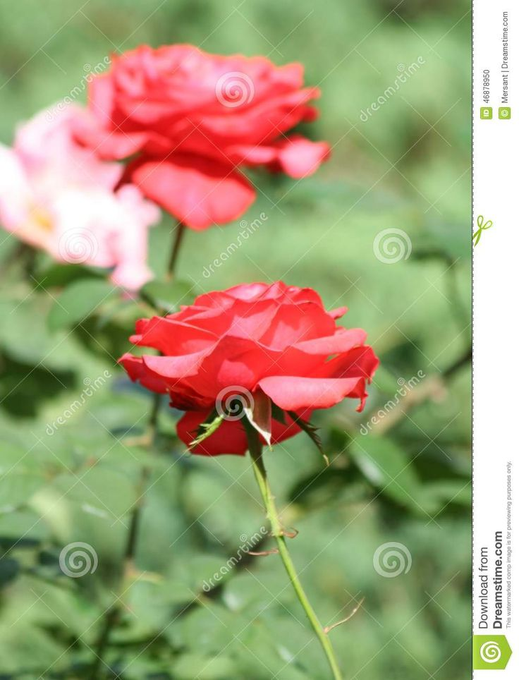 Beautiful roses with green background