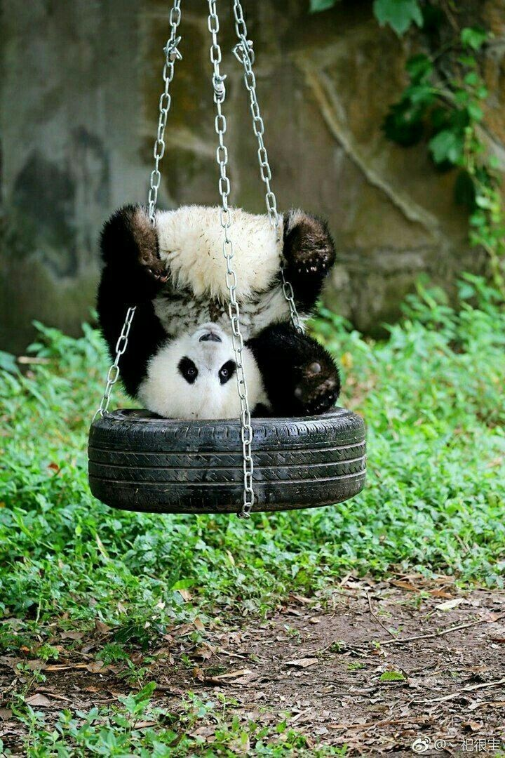 There Are Times When Wildlife Photographers Must Find Animals That Want Their Photos To Run Away But There Are Baby Panda Bears Cute Baby Animals Animals Wild
