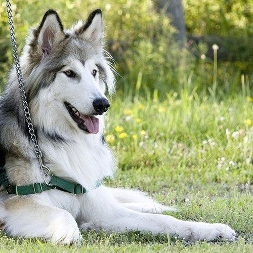 """Fascinating!! """"Once believed to be extinct, the Native American Indian Dog descends from (or, according to some dog enthusiasts, is based upon) the dogs that lived among the American Indians for centuries. Today, this rare breed serves as a wonderful household companion."""""""
