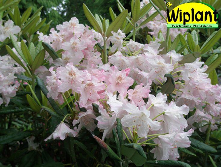 Rhododendron tigerstedtii-gruppen 'St Michel', rhododendron. Höjd: 3-4 m. Zon III.