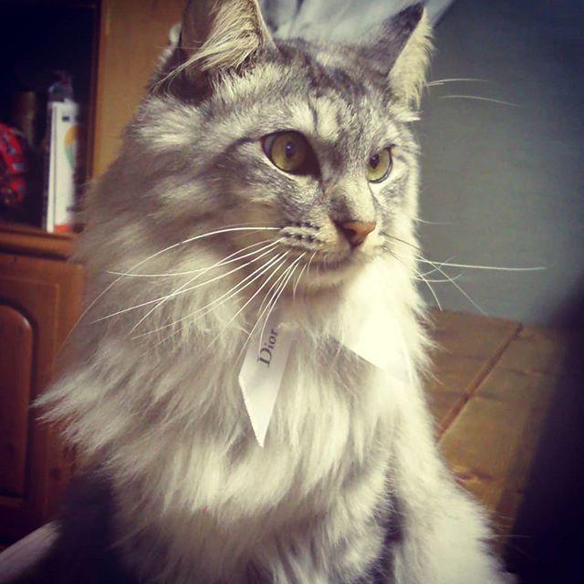 Happy new year!  わが家のにゃんちゃんは、なかなかカメラ目線になってくれません(;_;) 肖像画みたいになっちゃいました…  名前はぽんです!わが家に来て今年は3年目に、肉球が腫れる病気、プラズマ細胞性皮膚炎になって、元気がない日もあるけど、頑張って治療するにゃん~  #保護猫 #シベリア猫に似ている #かわいい猫 #猫好き #愛猫