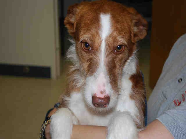 Cape Cod Animal Rescue Part - 33: Meet FERN A Petfinder Adoptable Podengo Portugueso Dog