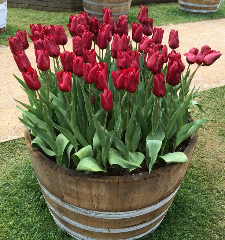 Tulip display  Container Garden. I took this picture at the Bowral Tulip Festival, NSW Australia