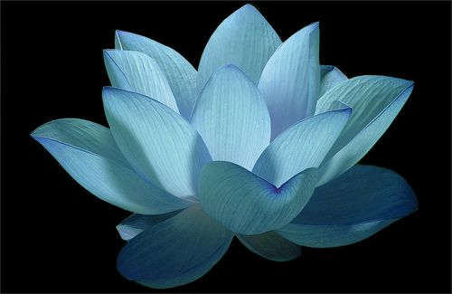 Flower / Blue flower / Lotus Flower / water / lily / water lily / / Blue / nature / - IMG_0606 - Nelumbo Nucifera - , ハスの花, 莲花, گل لوتوس, Fl...