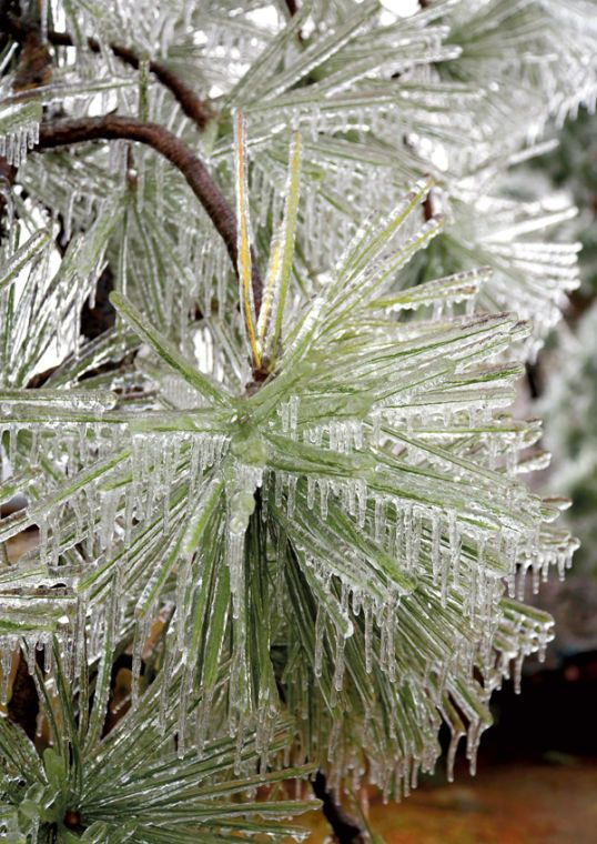 pines covered in ice