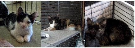 Betsy, Sadie and Smores are 3 of the 8 kittens dumped next to a Waller County corn field! We have a group to sponsor and payr for their spaying, but we need help with getting them tested and rabies shot. Help us Help them click her and give - http://4pawsfarm.chipin.com/betsysadiesmores