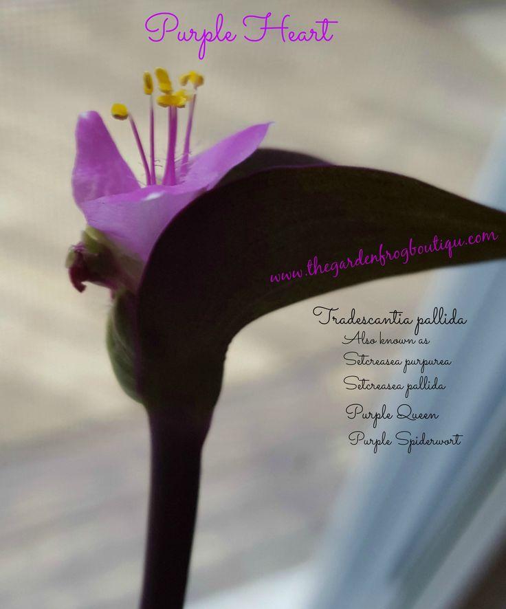 Purple Heart (Tradescantia pallida) Plant